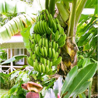"""Pestovateľská súprava """"Banánovník"""""""
