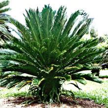 Ságová palma