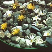 """Pěstební sada """"Živé kameny"""""""