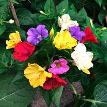 "Zázračná rastlina ""Mirabilis Jalapa"""