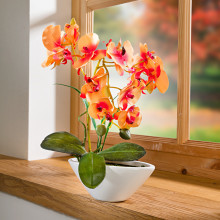 "Orchidea ""Phalaenopsis"""
