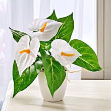 Antúria v kvetináči